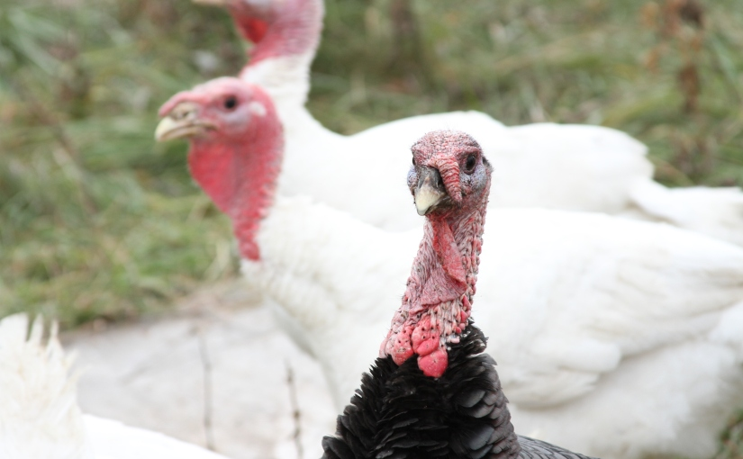 Where Your Food (i.e., your turkey) Comes From