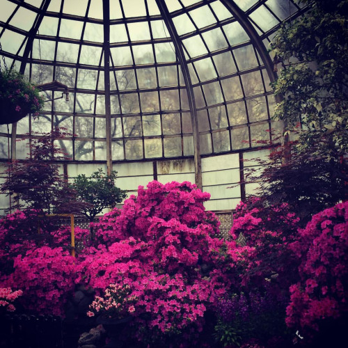 The azaleas in bloom against the city's gloom